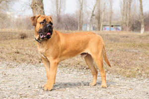 Bullmastiffs can be a dangerous dog breed. They were bred to be a guard dog.