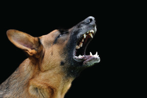 German Shepards can be dangerous because they are suspicous and protective.