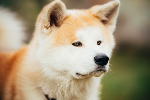 A dangerous dog breed, the Akita, is unsocial.