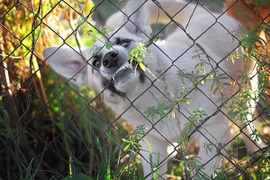 To keep children safe, beware of dogs behind fences.
